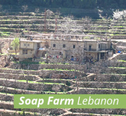 Lebanese Olive Orchard